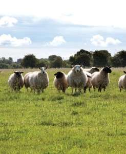 Some of our sheep on the farm in Yorkshire.